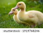 Two Yellow Cute Ducklings Or...
