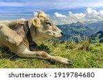 Swiss Alpine Cows Graze On A...