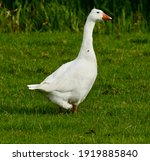 Feral Farmer Goose With A Fly...