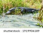 American Florida Alligator...