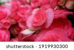 Blurry Pink Flowers In The...