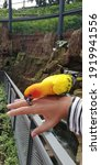Friendly Sun Conure Playing...