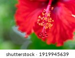 Macro Of Red Hibiscus Rosa...