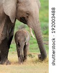Small photo of African elephant (Loxodonta africana) cow with young calf, Amboseli National Park, Kenya
