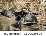The Pied Cormorant Is A Large...