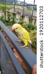 Friendly Sun Conure  A Type Of...