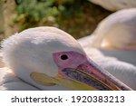 Big Birds Of Pelicans Lying...