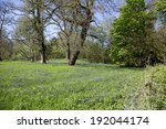 a carpet of bluebell flowers in ...