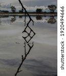 Reflection Of Argan Branch In...