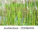 Horsetail. Equisetum Plant Wit...