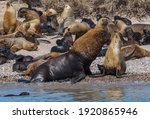 sea lion colony in patagonia...   Shutterstock . vector #1920865946