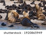 sea lion colony in patagonia...   Shutterstock . vector #1920865949