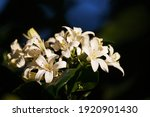 White Flowers Of An Orange...