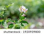 Flowering Potatoes  Potato Bush ...
