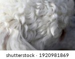White miniature poodle in a...