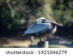 Pelican Standing On A Pole