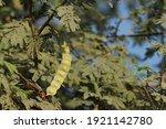 Closeup Of Gum Arabic Tree....