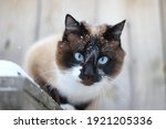 Thai Siamese Cat With Blue Eyes ...