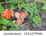 A Family Of Young Mushrooms Of...