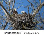 Adult Bald Eagles On Nest At...