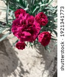 Bouquet Of Deep Red Carnations ...