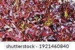 Red Oak Lettuce Background. A...