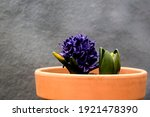 Growing Blue Hyacinths On Clay...