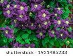 Lots Of Purple Clematis Flowers ...
