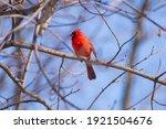 Northern Cardinal  Male...