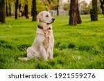 Golden Retriever Sits In The...