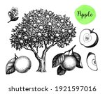 apple tree  fruits and flower.... | Shutterstock .eps vector #1921597016