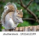 Squirrel With Food On Fence