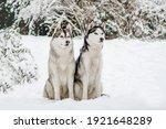 Two Siberian Husky Dogs In A...