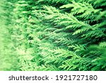Closeup Of Green Thuja...