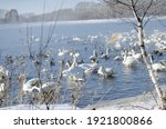 White Swans On A Winter Lake....