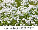 White flowers in the summer garden - stock photo