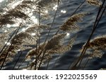 Reed Plumes On A River Bank In...