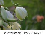 Bell Shaped White Flowers...