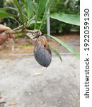 Young Eggfruit  Rot By Fungi...
