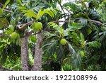 Breadfruit Tree Artocarpus...