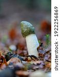 Small photo of Mushroom Phallus impudicus growing in the forest