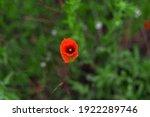 Red Poppy Flower  Green...