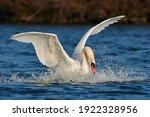 Mute Swan Bird Landing With...