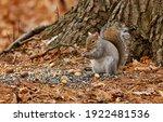 Eastern Gray Squirrel. Many...