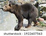 Big Brown Bear In The Zoo....