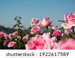Beautiful Blooming Pink Rose...