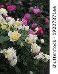 Light Yellow Shrub English Rose ...