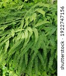 A Beautiful Green Fern Or...