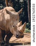 Animal Rhino With 2 Horn In...