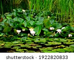 Water Lilies On A Pond Among...
